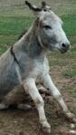 sitting-donkey