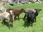 coloured~lambs